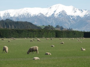 Lambs soaking up the spring sun - with Southern Alps in background