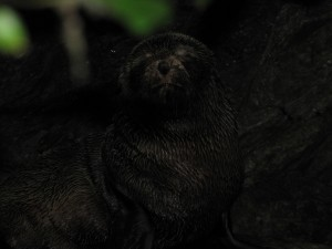 Here's a bashful seal pup we encountered on the short 10 min walk to the Ohau Stream Seals.